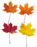 Maple leaves collage. Collage of four isolated maple leaves in different colours - orange, red and yellow Stock Photo
