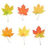 Maple leaves collage Stock Images