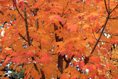 Maple Leaves Stock Image