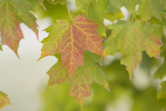 Maple leaves. Colorful maple leaves in autumn Stock Photo