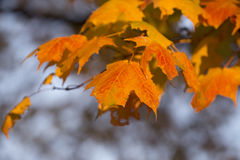 Maple leaves. Colorful maple leaves in autumn Royalty Free Stock Photo