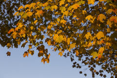 Maple leaves. Colorful maple leaves in autumn Royalty Free Stock Photography