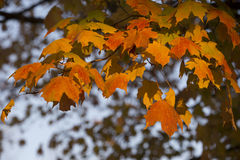 Maple leaves. Colorful maple leaves in autumn Royalty Free Stock Image
