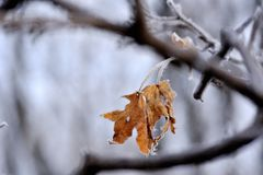Frozen leaves of yellow maple Royalty Free Stock Photography
