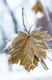 Maple leaves covered with hoarfrost Royalty Free Stock Photography