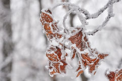 Maple leaves covered with hoarfrost Royalty Free Stock Photos