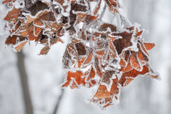 Maple leaves covered with hoarfrost Stock Photography