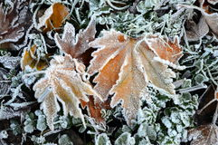Maple leaves covered with ice crystal. Capture of fallen maple leaves covered with ice crystal. The photo was taken in the forest the last days of November Stock Photos
