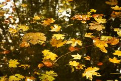 Maple leaves in a creek Stock Photo