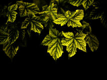 Maple Leaves with a Dark Background Royalty Free Stock Photos
