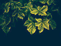Maple Leaves on a Dark Background - Vintage Royalty Free Stock Images