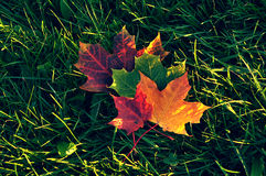 Maple leaves of different colours on the grass. Autumn maple leaves of different colours lie on the green grass Stock Photography