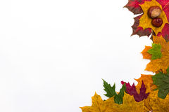 Maple leaves of different shapes and different colors on a white background. A Maple leaves of different shapes and different colors on a white background Royalty Free Stock Image