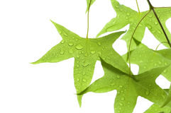 Maple leaves with droplet stock images