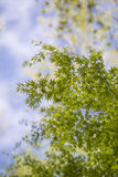 Maple Leaves,early summer,in Yamanashi,Japan.  Royalty Free Stock Image