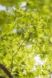 Maple Leaves,early summer,in Yamanashi,Japan.  Royalty Free Stock Photos