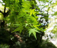 Maple leaves at the edges of a branch. Royalty Free Stock Images