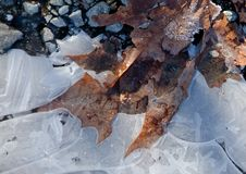 Maple leaves embedded into a layer of ice Stock Images
