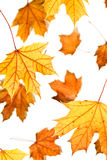 Maple leaves fall Stock Photo