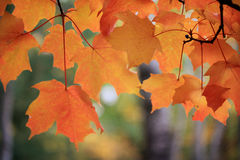 Maple Leaves in Fall. Maple leaves on the tree that have turned orange in the fall royalty free stock photography