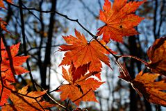 Maple leaves, fall Stock Images