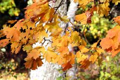 Maple leaves in fall. Reddish maple leaves on a branch in autumn Royalty Free Stock Images