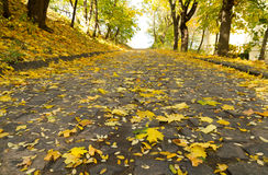 Maple leaves fall. In an autumn park Royalty Free Stock Photo