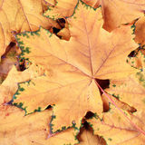 Maple leaves in fall Royalty Free Stock Image