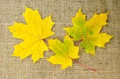 Maple leaves in fall colors Royalty Free Stock Photo