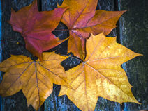 Maple leaves fall. On the ground Royalty Free Stock Image