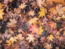 Maple leaves fall Royalty Free Stock Photos