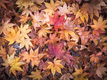 Maple leaves fall Royalty Free Stock Photography