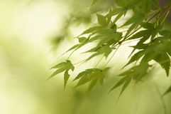 Maple Leaves Before the Fall - Kyoto stock photo