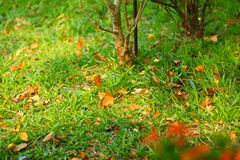 The maple leaves fall on the lawn with golden sunlight, warm and moving. royalty free stock photo