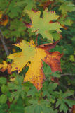 Maple Leaves in fall Royalty Free Stock Photos