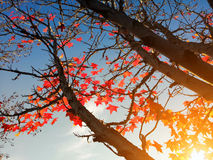 Maple Leaves in Fall Stock Photo