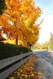 Maple leaves fall on a street during fall. Orange Maple leaves from a tree fall on a street during fall Stock Image