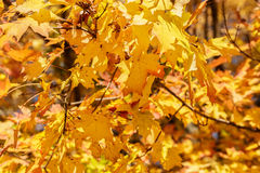 Maple Leaves in the Fall Royalty Free Stock Photography