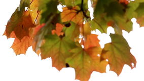 Maple leaves in the fall stock video