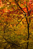 Maple leaves in the fall. Vine maples  (Acer circinatum) showing the green, yellow, and red of fall Stock Photo