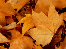 Maple leaves. Fallen brown leaves. Seasonal concept. Autumn season. Fall is coming. Bunch of dry leaves Stock Photography