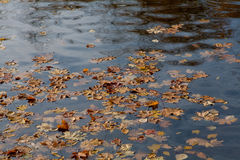 Maple leaves. The fallen-down maple leaves float on water Royalty Free Stock Photo