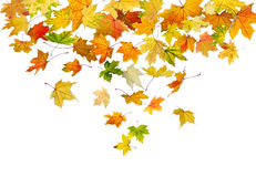 Maple leaves falling Stock Images
