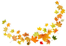 Maple leaves falling Royalty Free Stock Photo