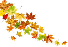 Maple leaves falling Stock Photography