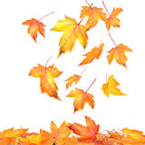 Maple Leaves Falling On White Stock Photography