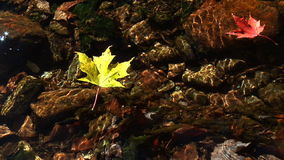 Maple leaves float on clear stream stock video footage