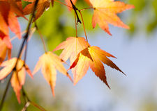 Maple leaves in the forest. Maple leaves in a forest Royalty Free Stock Image