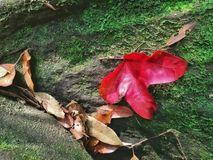 Maple leaves in the forest, Phukradueng, Thailand. Autumn leaves, red maple, on mossy stone in the forest. Maple leaves in the forest, Phukradueng, Thailand stock image