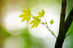 Maple leaves in the forest Royalty Free Stock Photos